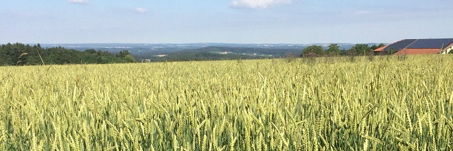 Weizen-Leindotter